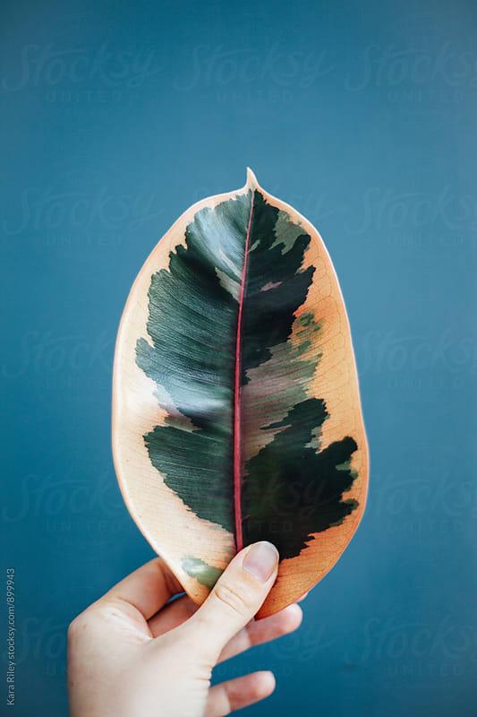 Rubber Plant Leaf by Kara Riley for Stocksy United