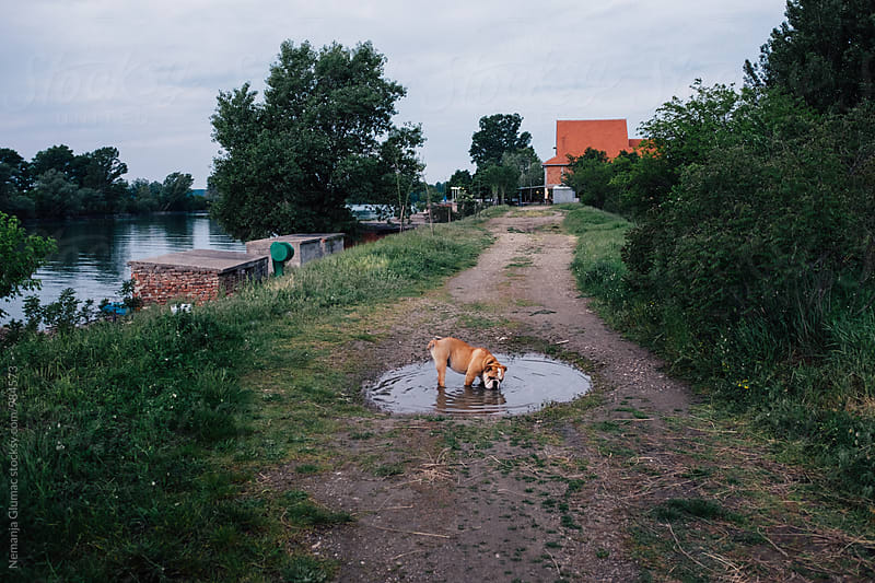 English Bulldog Drinking Water In a Puddle by Nemanja Glumac for Stocksy United