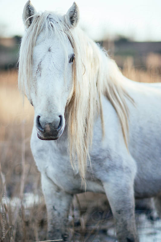 Wild horse looking at the camera by Eva Plevier for Stocksy United