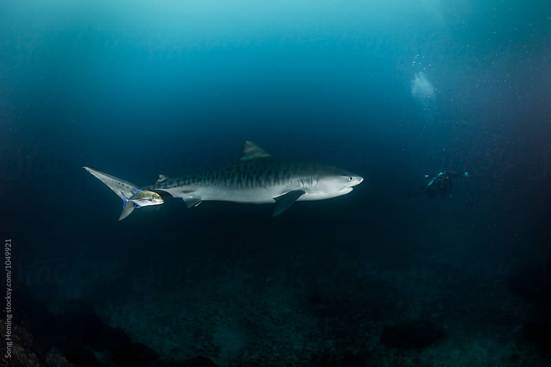 A  big tiger shark swimming to a diver by Song Heming for Stocksy United
