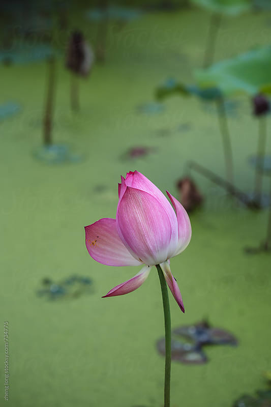 lotus in summer by zheng long for Stocksy United