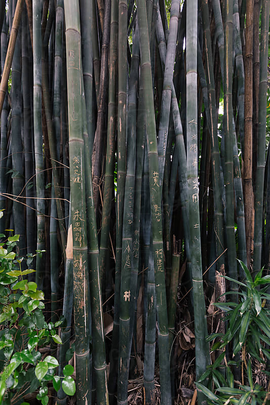 Wall of bamboo trees with Chinese character inscriptions by Lawrence del Mundo for Stocksy United