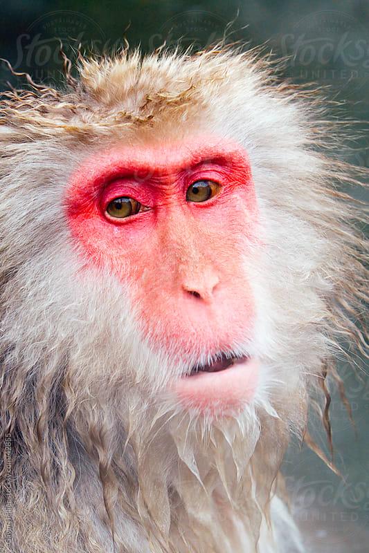 Japan, Central Honshu (Chubu), Nagano Prefecture, Jigokudani Nature Reserve,  Jigokudani Onsen (Hell Valley Hot Springs), Japanese Macaque Monkey (Snow Monkey) by Gavin Hellier for Stocksy United