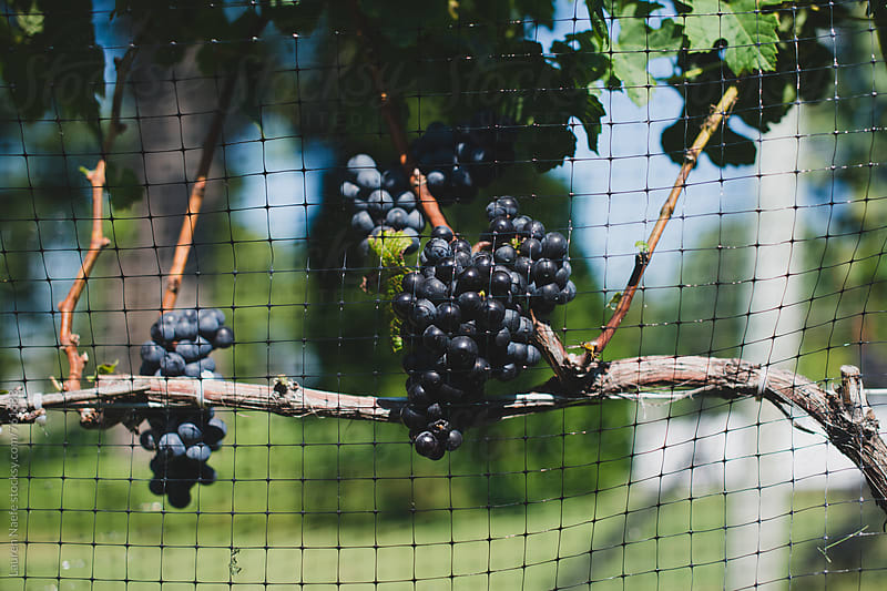 Purple grapes hanging from vine by Lauren Naefe for Stocksy United