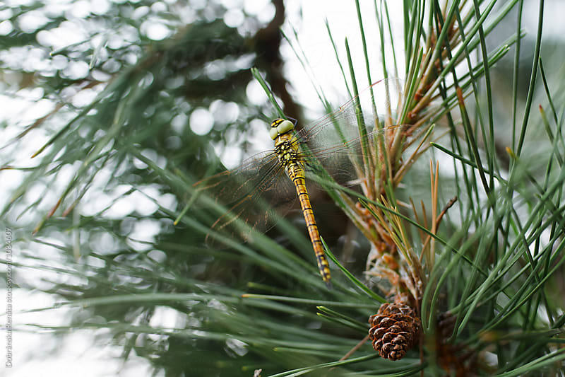 Dragonfly on a pine tree by Dobránska Renáta for Stocksy United