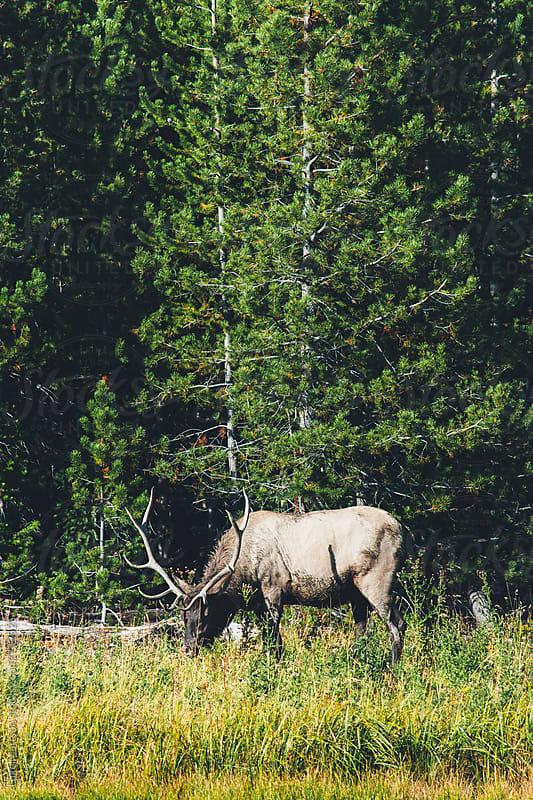 Bull Elk Grazing Near Riverbank At Edge Of Forest by Luke Mattson for Stocksy United