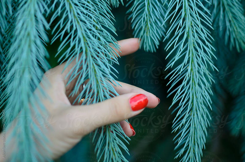 Woman's hand with red nail polish holding blue pine tree branch by Alice Nerr for Stocksy United