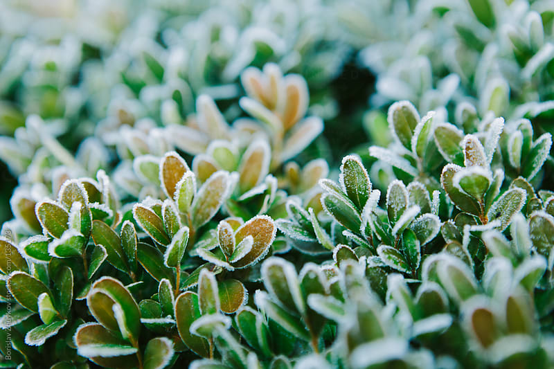 Frosted boxwood leaves by Borislav Zhuykov for Stocksy United