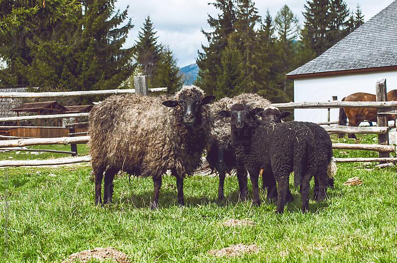 Sheep Family by Alie Lengyelova for Stocksy United