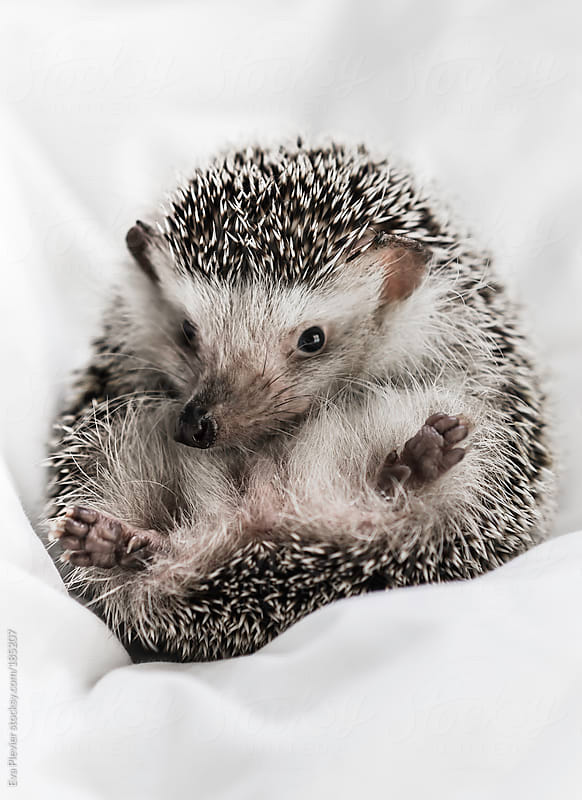 Little hedgehog lying upside up. by Eva Plevier for Stocksy United