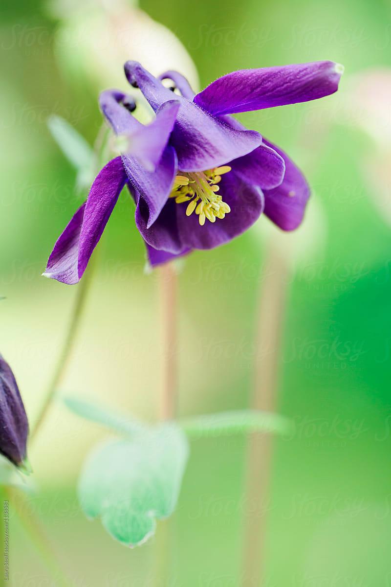 Flowering purple grannys bonnet aquilegia with yellow pistils flowering purple grannys bonnet aquilegia with yellow pistils by laura stolfi for stocksy united izmirmasajfo