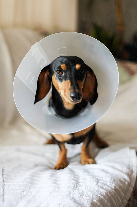 Small black dachshund wearing a dog cone sitting on the couch  by Marija Mandic for Stocksy United