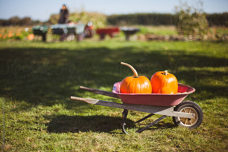 A wheelbarrow with a few pumpkins sits at the pumpkin patch. by Cherish Bryck for Stocksy United