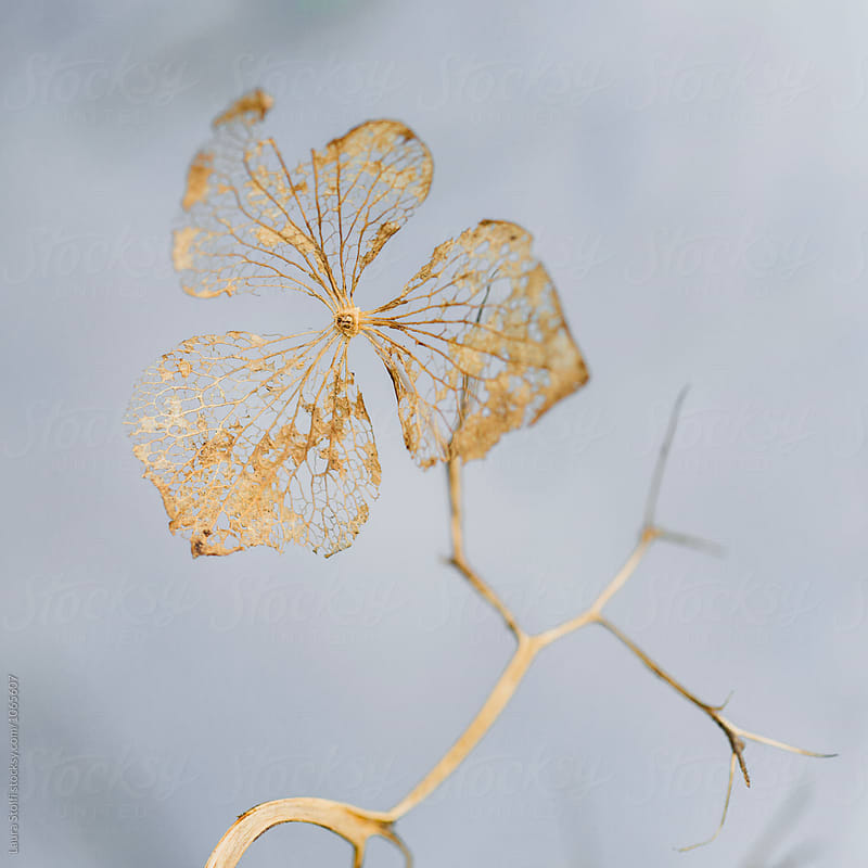 Dry hydrangea flower with lace like petals in gold by Laura Stolfi for Stocksy United