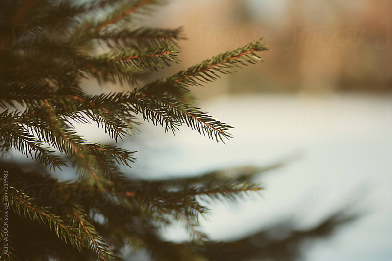 Pine Boughs In Snow by ALICIA BOCK for Stocksy United