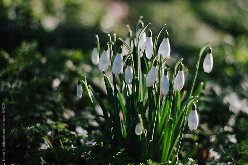 Snowdrops by Helen Rushbrook for Stocksy United