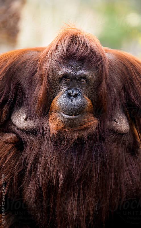 orangutan matriarch by alan shapiro for Stocksy United