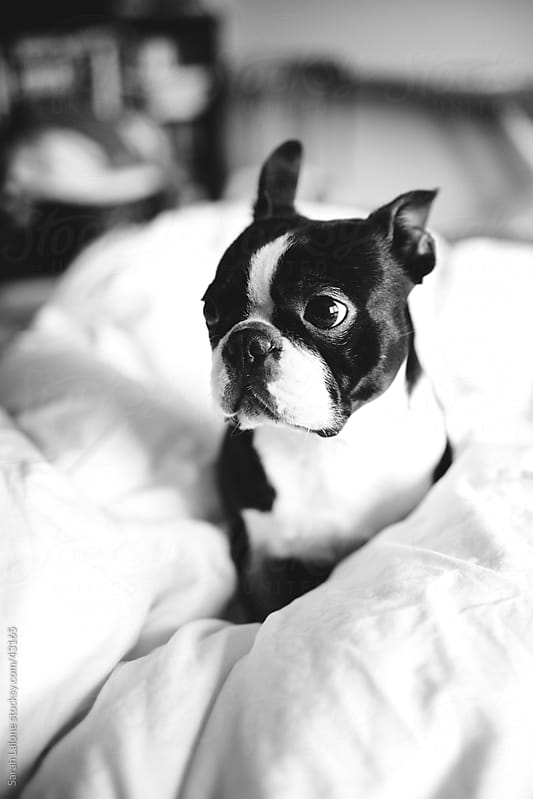 A boston terrier dog wrapped up in a fluffy duvet on a bed. by Sarah Lalone for Stocksy United