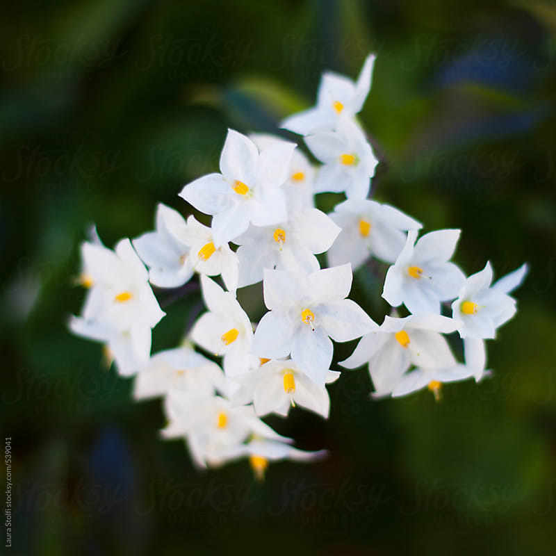 Macro catch of potato vine flowers in bloom by Laura Stolfi for Stocksy United