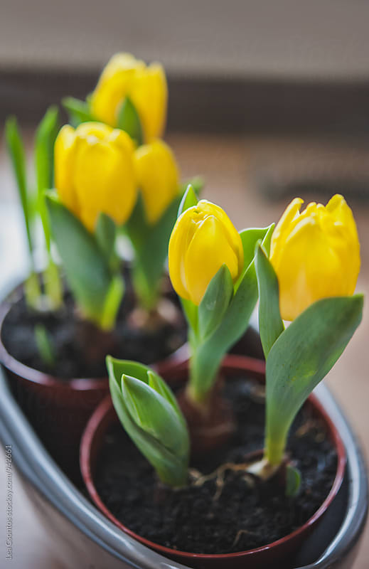 Closeup of bright yellow tulips in a pot by Lea Csontos for Stocksy United