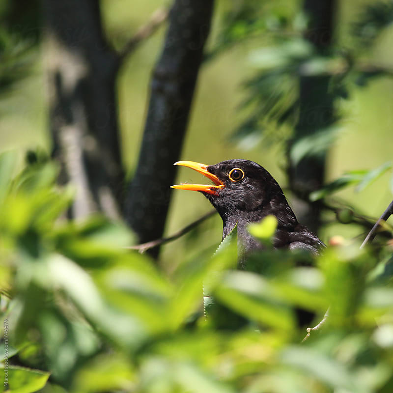 Male blackbird singing up in a tree by Marcel for Stocksy United