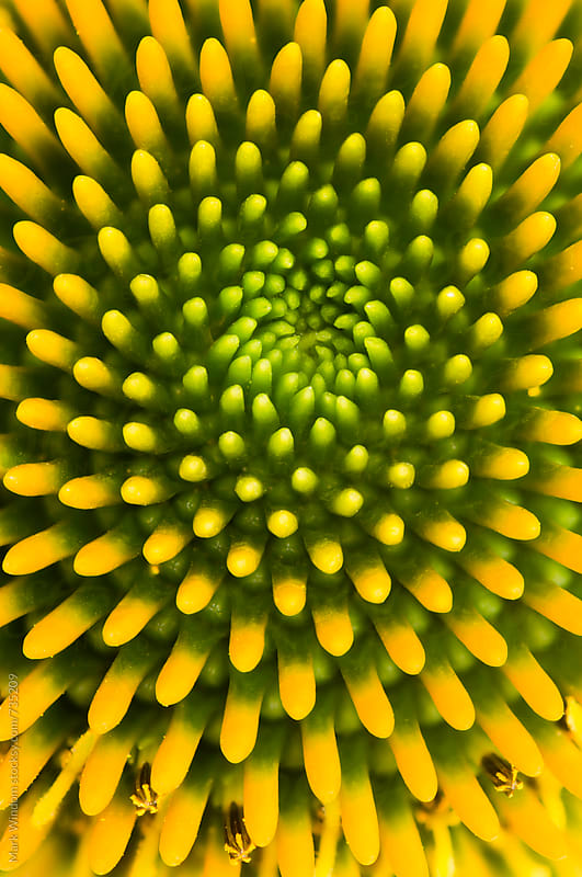Coneflower head, closeup by Mark Windom for Stocksy United