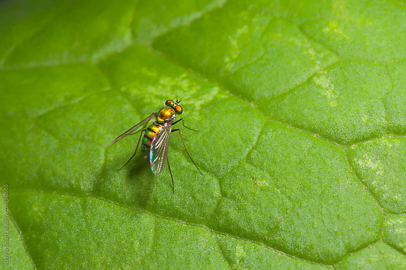 A tiny longlegged fly sitting on a green leaf. by David Smart for Stocksy United