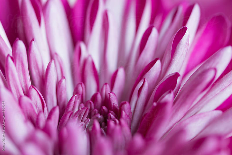 Macro abstract of mum flower petals by Kerry Murphy for Stocksy United