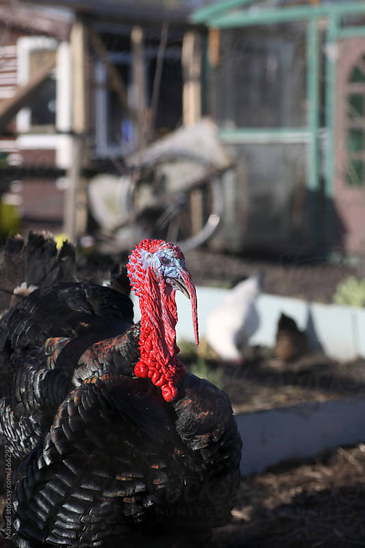 Turkey in a messy backyard by Marcel for Stocksy United
