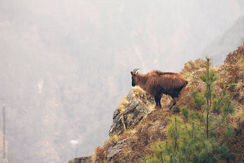 Himalayan Tahr  by Dejan Ristovski for Stocksy United