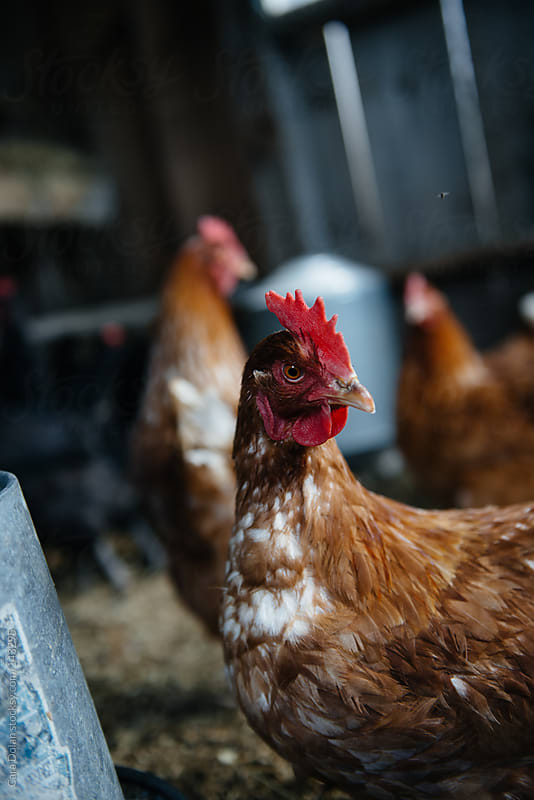Chickens inside a hen house at a farm by Cara Dolan for Stocksy United
