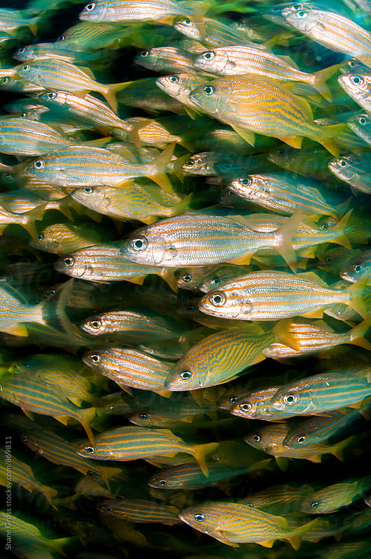 Vertical Grunt School of Fish by Shane Gross for Stocksy United