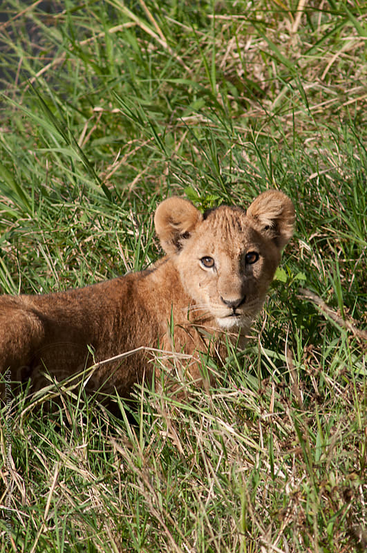 Baby Lion King in Masai Mara National Park during a Safari in Kenya by Marta Muñoz-Calero Calderon for Stocksy United