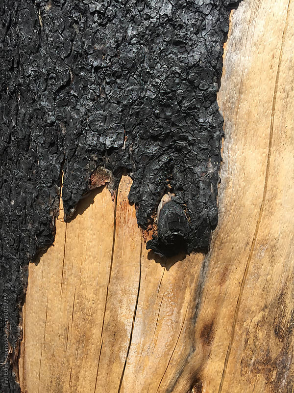 Close up of fire damaged evergreen tree, Cascades, WA, USA by Paul Edmondson for Stocksy United