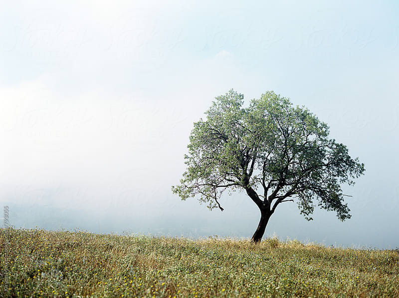 Tree in fog on early morning, Tuscany by Kirstin Mckee for Stocksy United