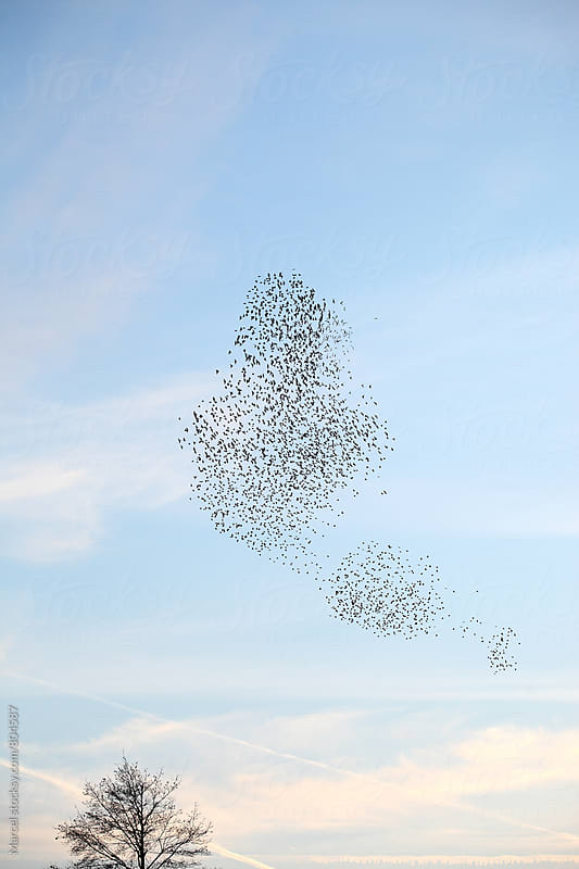 Flock of starlings in blue evening sky by Marcel for Stocksy United