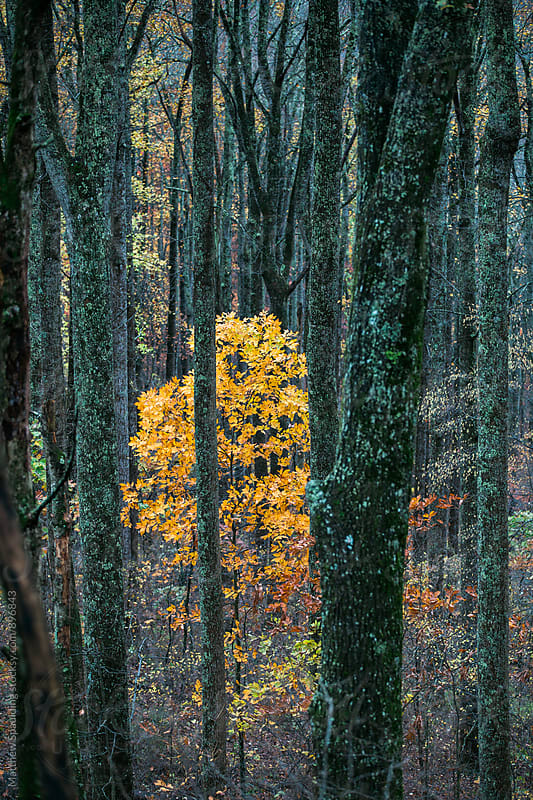 Single fall tree in forest by Matthew Spaulding for Stocksy United