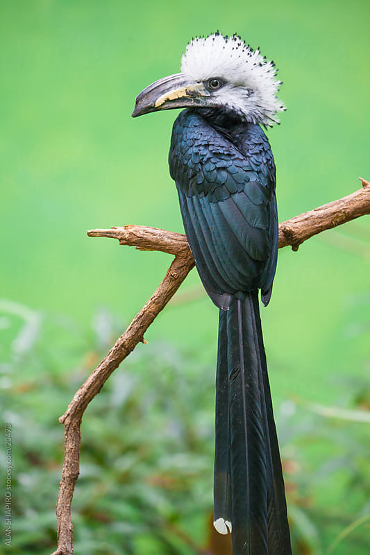 White tailed Hornbill by alan shapiro for Stocksy United