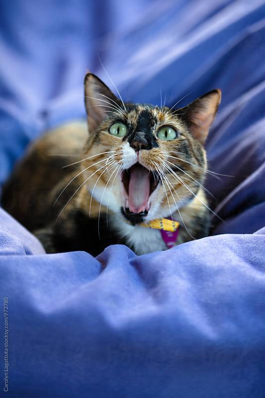 Adorable yawning Calico cat by Carolyn Lagattuta for Stocksy United
