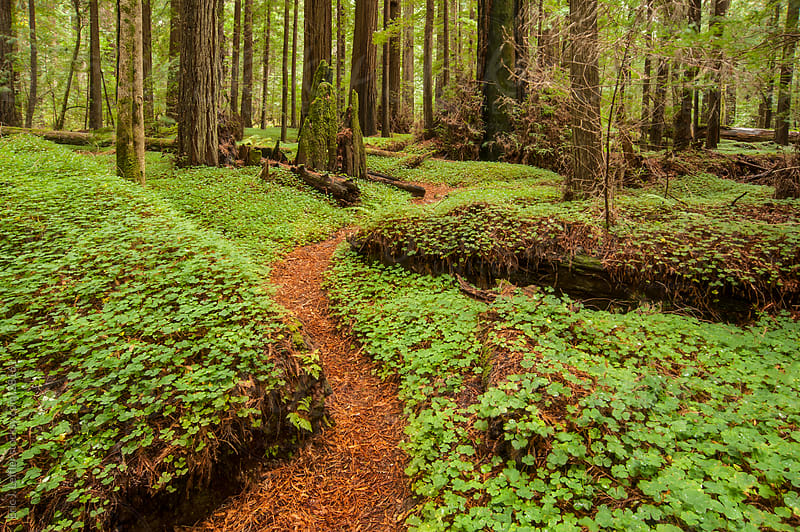 A Path through the Green Redwood Forest by Eric J. Leffler for Stocksy United