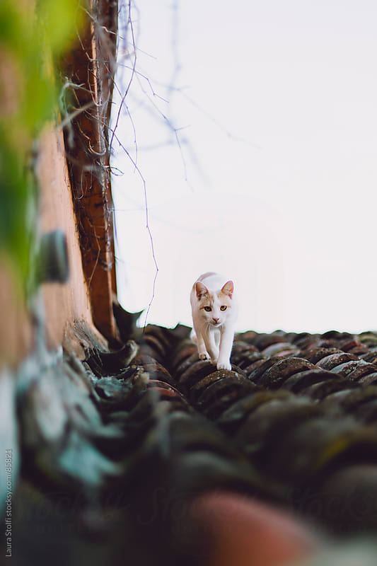 Cat looks straight at the camera while walking on ancient shingles roof by Laura Stolfi for Stocksy United