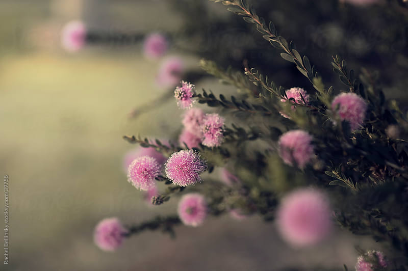 Fuzzy pink blooms on green branches reach for the light by Rachel Bellinsky for Stocksy United