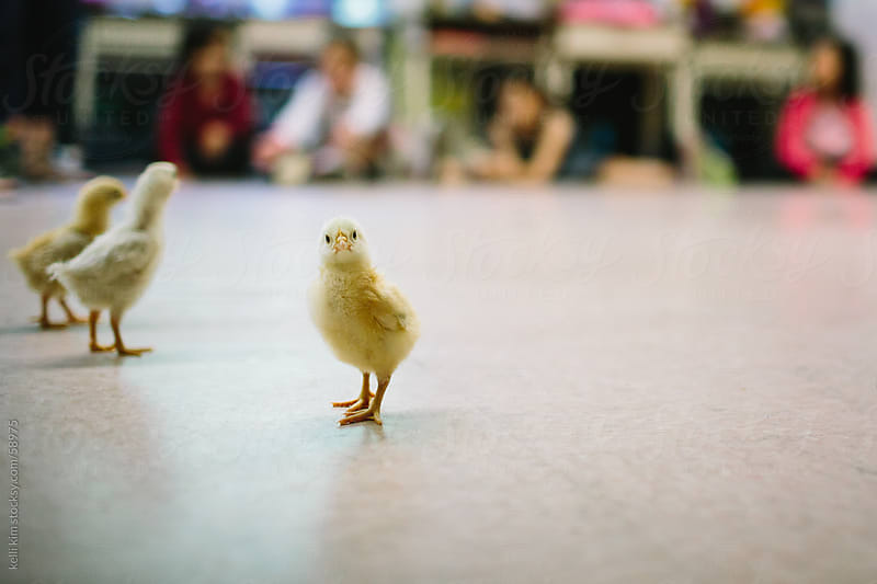 Chick On Classroom Floor Looks Directly At Camera by kelli kim for Stocksy United