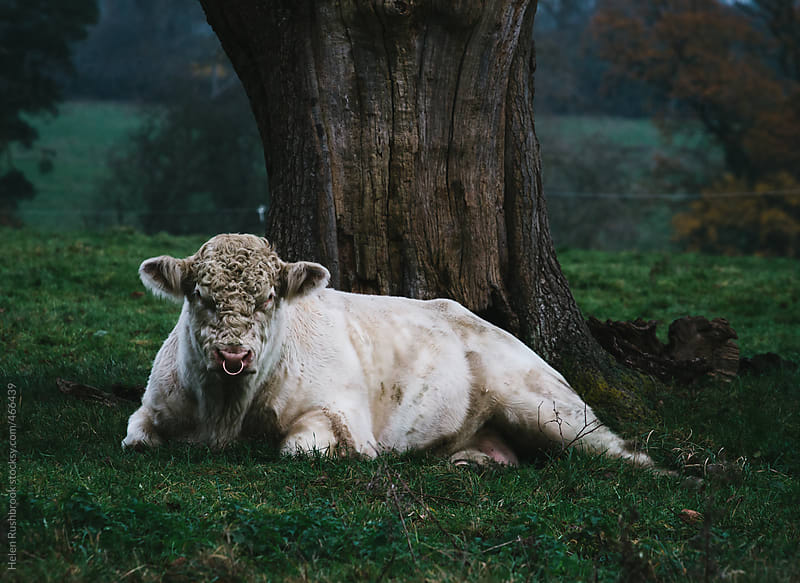 A white bull sitting under a tree by Helen Rushbrook for Stocksy United