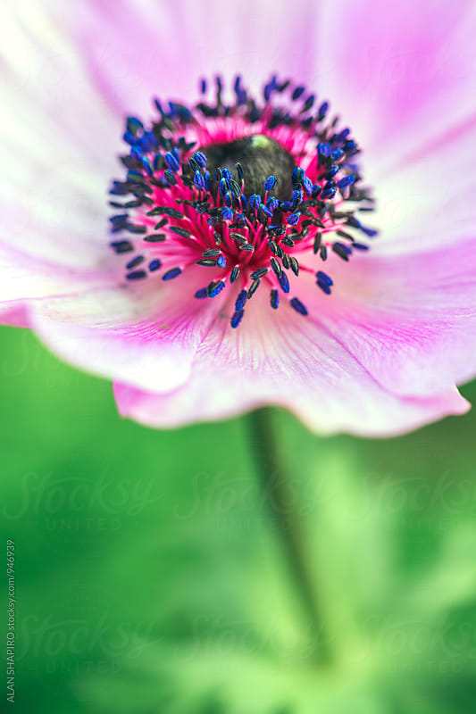 Purple anemone by alan shapiro for Stocksy United