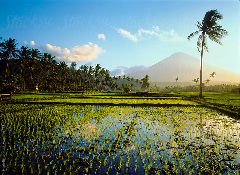 Rice paddies infront of volcano. Bali. Indonesia by Hugh Sitton for Stocksy United