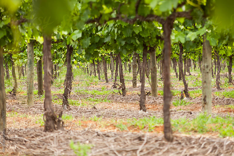 Trunk level view through a vineyard by Ben Ryan for Stocksy United