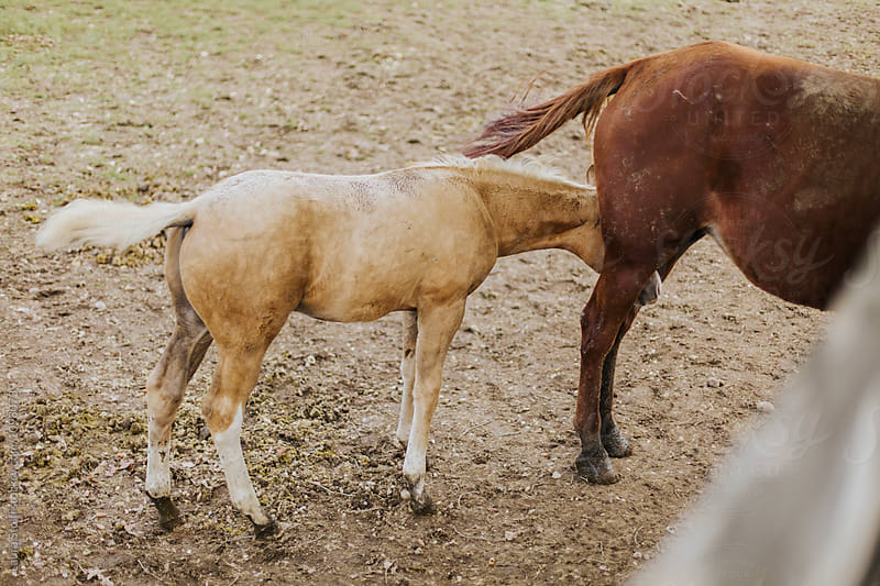 Don't be shy: colt hides under mother horse's legs by Laura Stolfi for Stocksy United