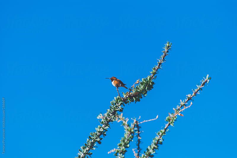 Hummingbird Resting On Ocatillo by Tamara Pruessner for Stocksy United