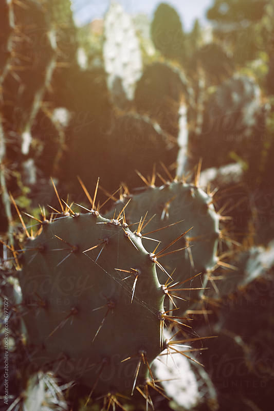 Cactus In Sunlight Close Up by Alexander Grabchilev for Stocksy United